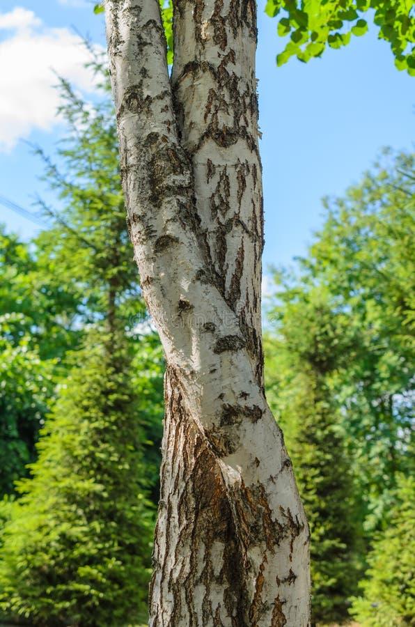 Bomen met gebogen boomstammen en takken royalty-vrije stock fotografie