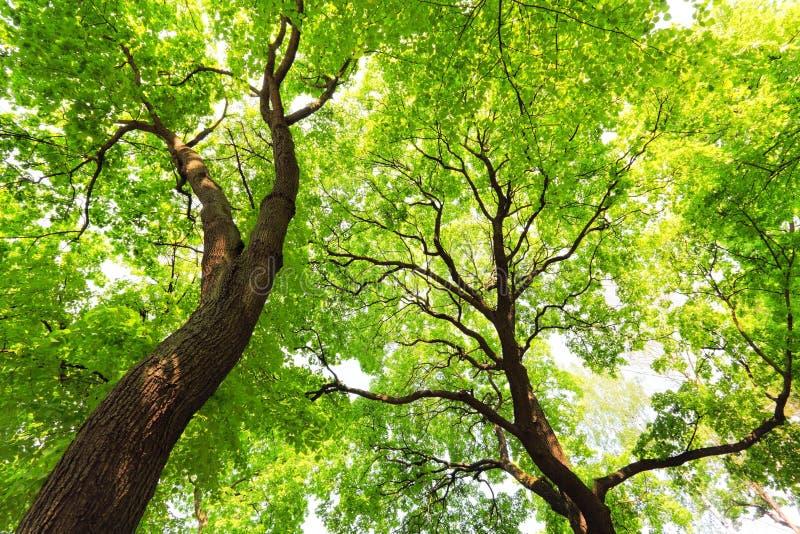 Bomen met groene bladerenluifel royalty-vrije stock foto