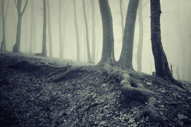 Bomen met grote wortels in een donker griezelig geheimzinnig bos met mist stock fotografie