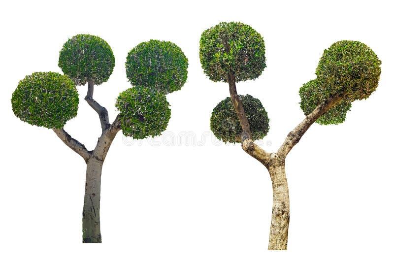 Bomen met kroon in de vorm van een bal op witte achtergrond in orde die wordt gemaakt die stock afbeelding