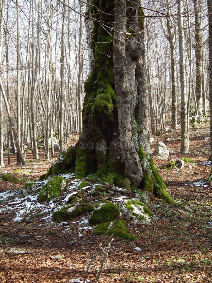 Bomen met mos worden behandeld dat stock fotografie