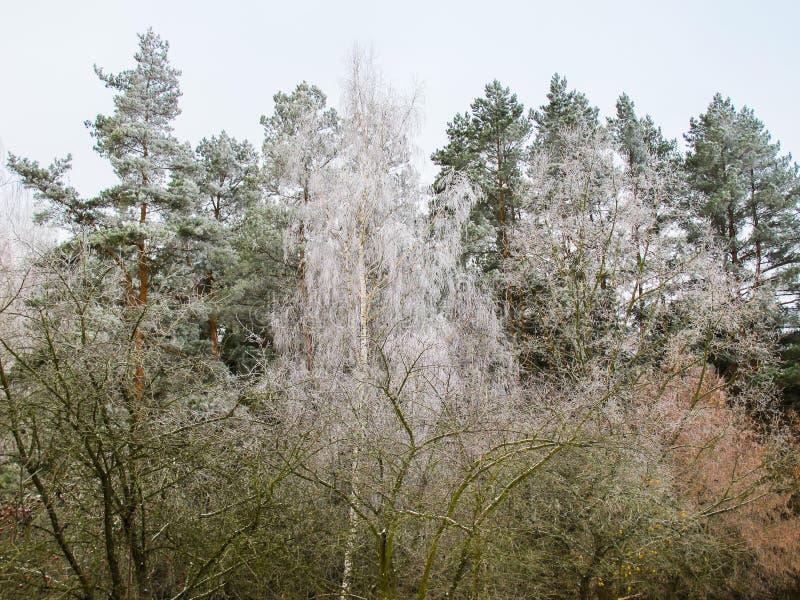 Bomen met rijp in een de winterbos dat worden behandeld stock foto