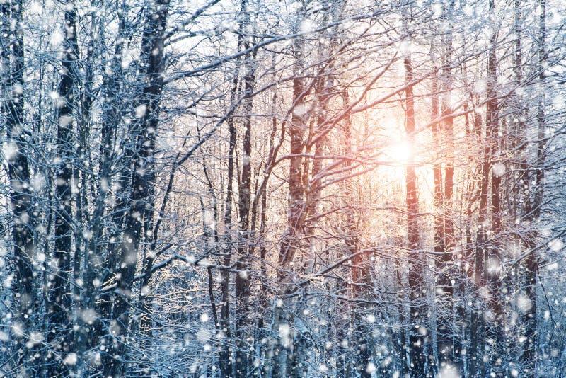 Bomen met sneeuw in het bos in de winter worden behandeld die stock afbeelding