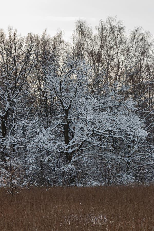 Bomen met sneeuw, op de rand van het bos worden behandeld dat stock fotografie