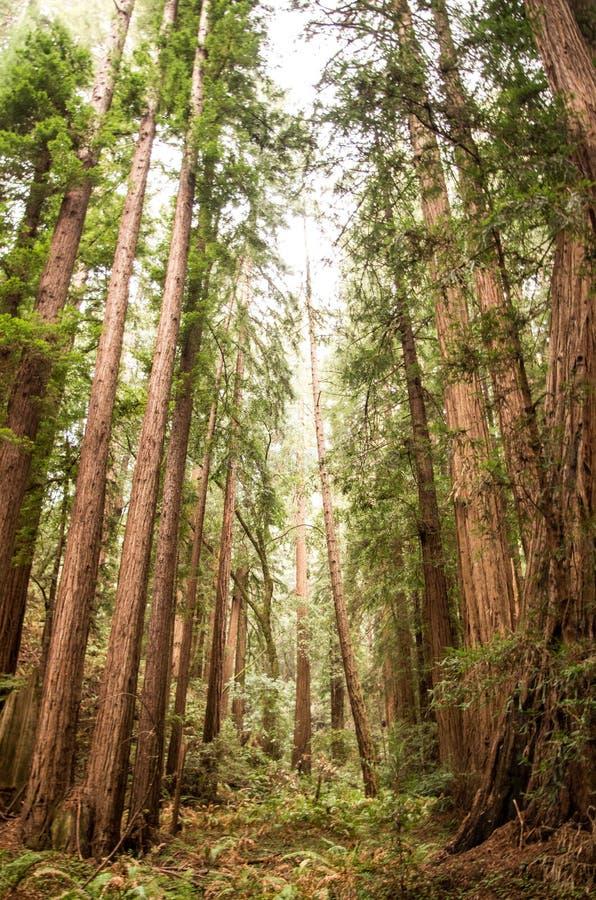 Bomen in Muir Woods royalty-vrije stock foto