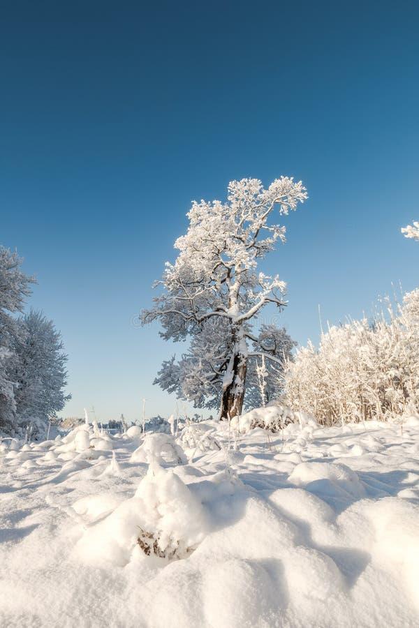 Bomen op het gebied in de winter. stock foto
