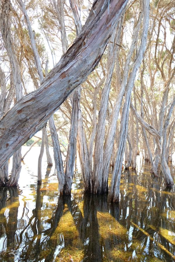 Bomen over water, kangoeroeeiland royalty-vrije stock foto's