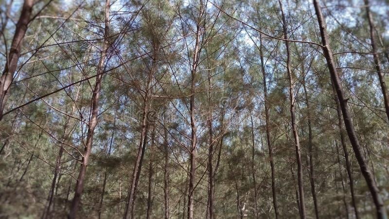 Bomen overzeese pijnboom op het strand met groene bladeren royalty-vrije stock foto's
