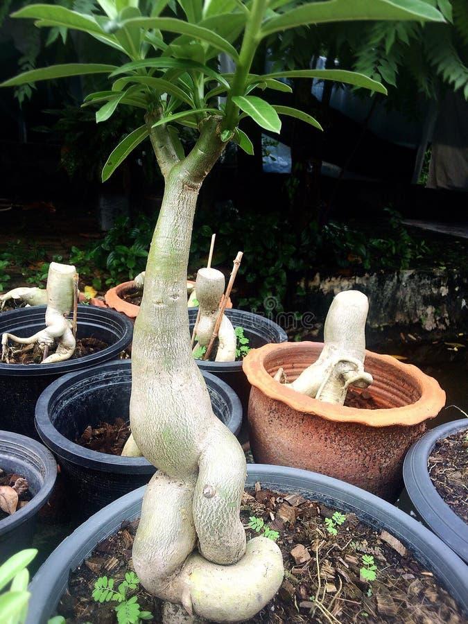 Bomen in potten worden geplant die royalty-vrije stock afbeelding