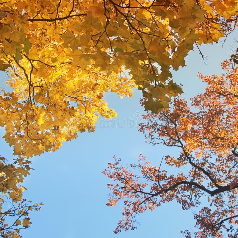 Bomen tegen de Hemel De bovenkanten van de bomen De herfst stock afbeelding