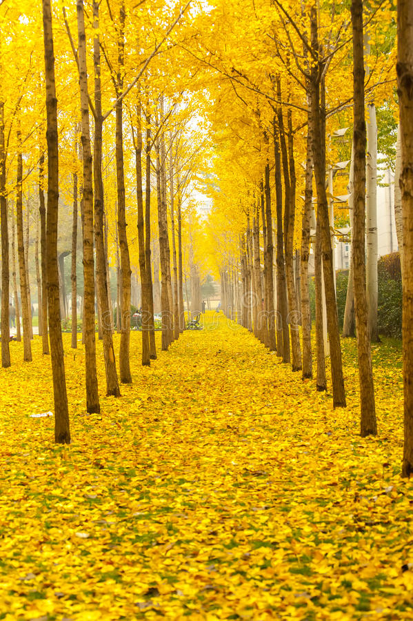 Bomen van de herfst de gouden ginkgo stock afbeelding