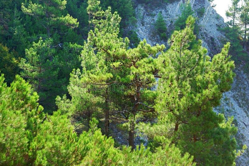 Bomenpijnboom op rotsen royalty-vrije stock foto's