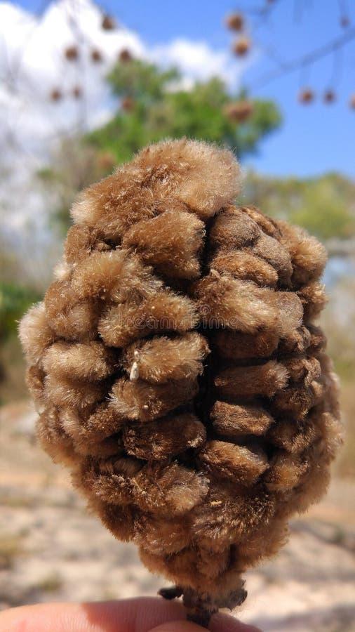 Bomull för Ceibakapockträd arkivbilder