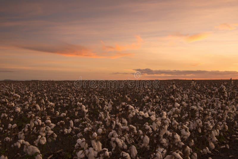 Bomullsfält i Oakey, Queensland arkivbilder