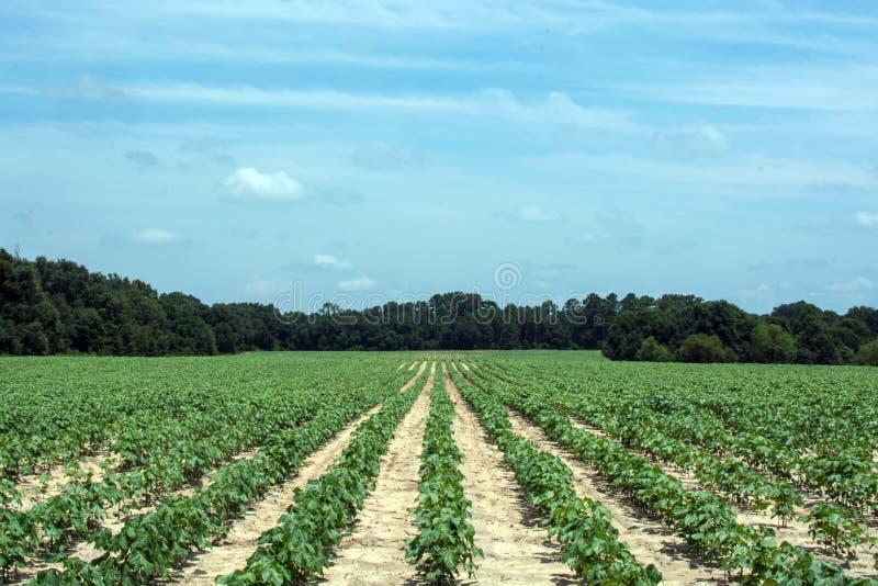 Bomullsfält i sydliga Georgia royaltyfri fotografi