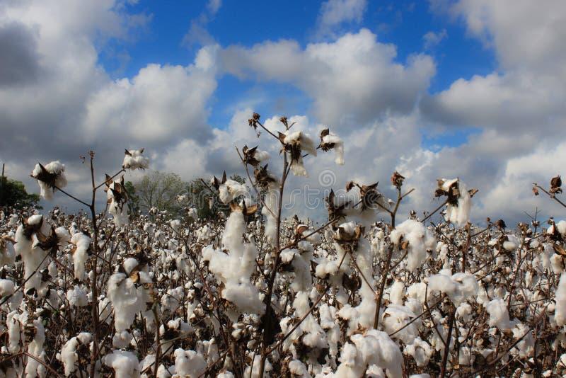 Bomullsfält på bakgrund för molnig himmel arkivfoton