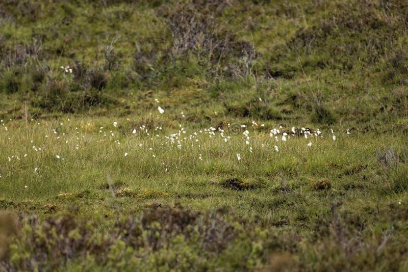 Bomullsgräs i hedland fotografering för bildbyråer
