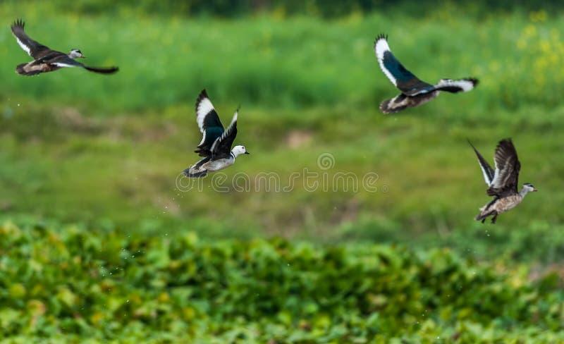 BomullsPygmé-gås, Nettapus coromandelianus, flyttfåglar, royaltyfri fotografi