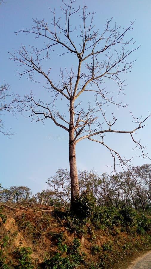 Bomullsträd royaltyfria foton
