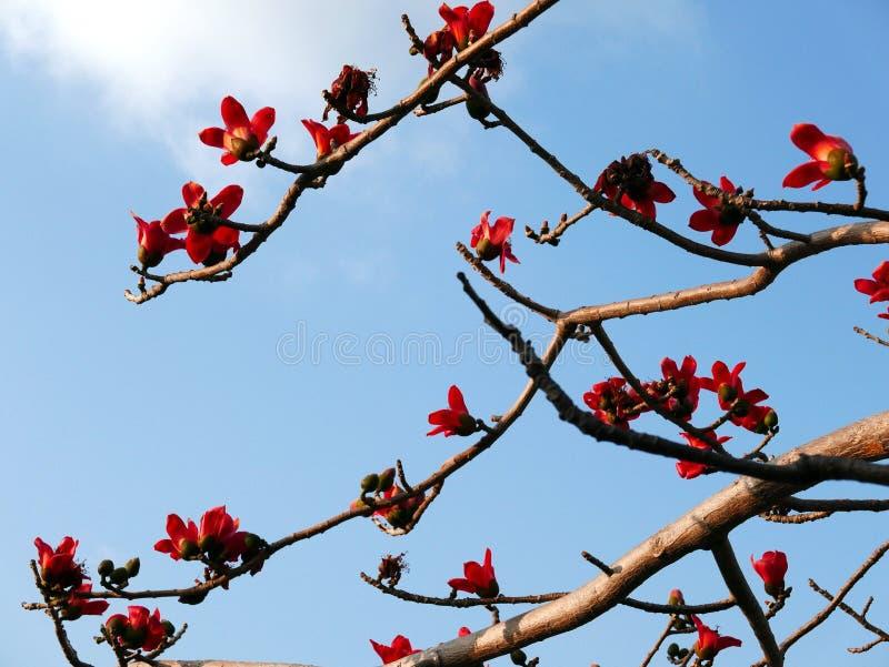 Bomullsträdet blommar och förgrena sig arkivfoto