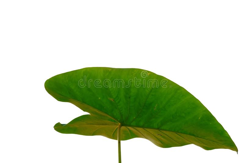Bon leaves with branches on white isolated background for green foliage backdrop. Waterside tropical tree leaves branches white isolated background green foliage stock photos