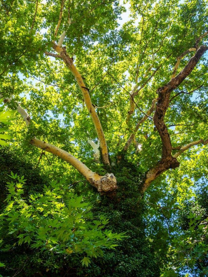Bon repos sous la nuance d'un vieil arbre plat énorme dans la ville d'Edessa, Grèce photographie stock