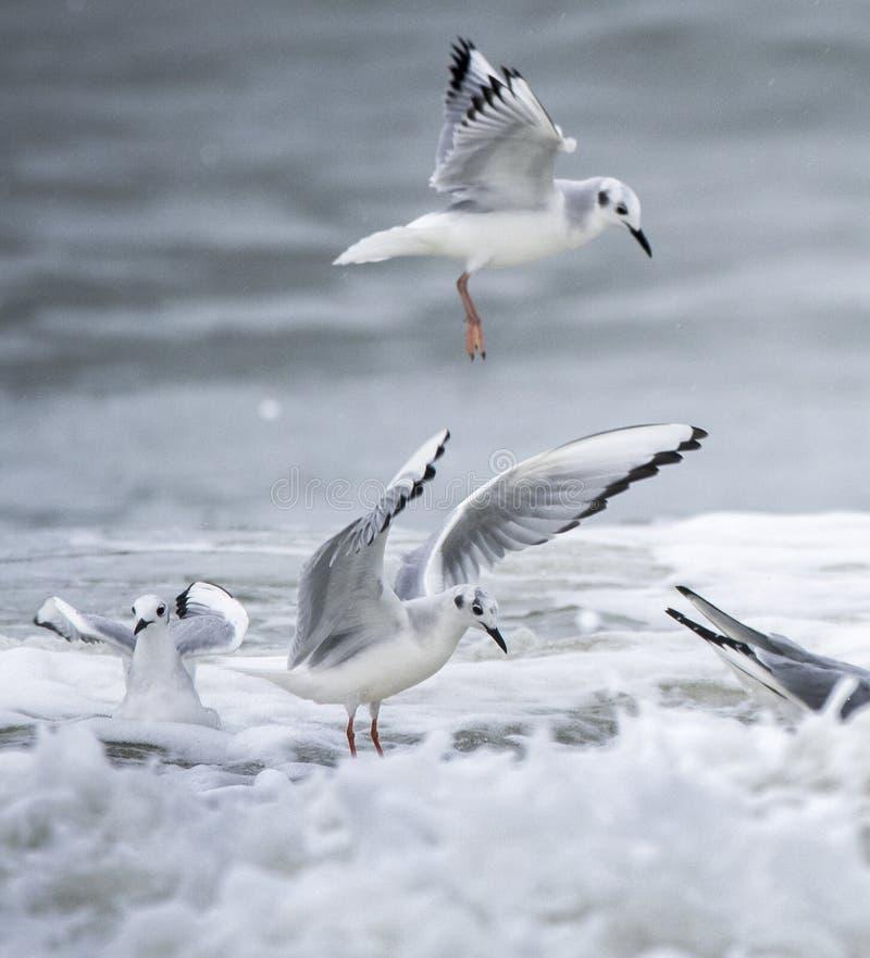 Bonaparte frajer baraszkuje w Atlantyckiej ocean kipieli mirtu plaży fotografia stock