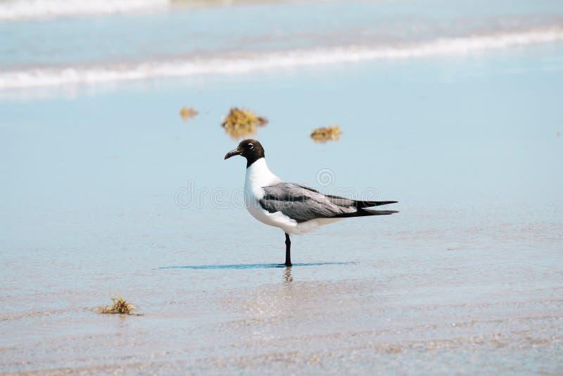 Bonaparte Gull Near Shore royalty-vrije stock foto