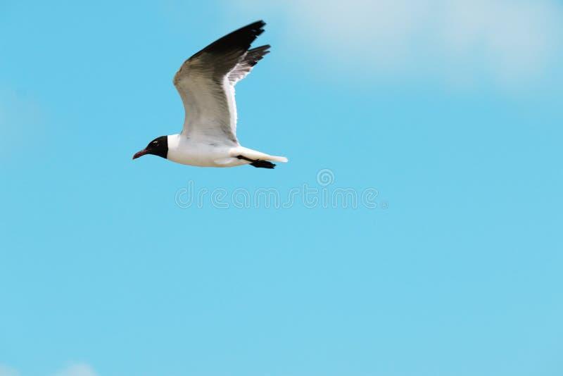Bonaparte Gull tijdens de vlucht stock foto's