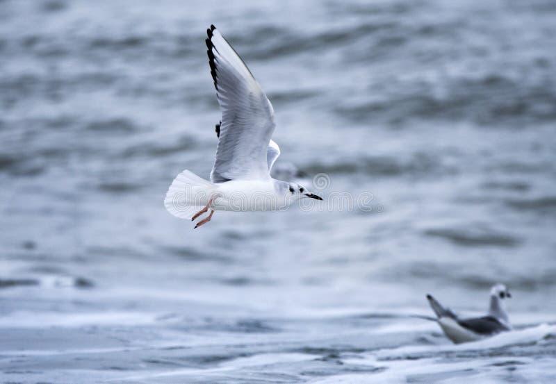Bonaparte`s Gull over Atlantic Ocean. Bonaparte`s gull Chroicocephalus philadelphia is a member of the seagull family Laridae found mainly in northern North royalty free stock photo