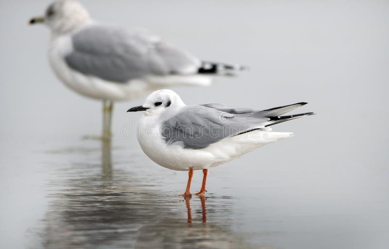 Bonaparte`s Gull on Hilton Head Island Beach, South Carolina. Bonaparte`s gull, Chroicocephalus philadelphia, standing on the island beach at low tide in winter royalty free stock photos