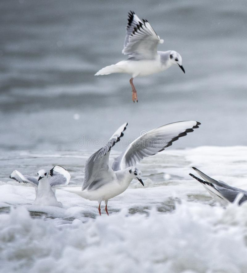 Free Bonaparte`s Gull Frolicking In Atlantic Ocean Surf Myrtle Beach Stock Photography - 140923472
