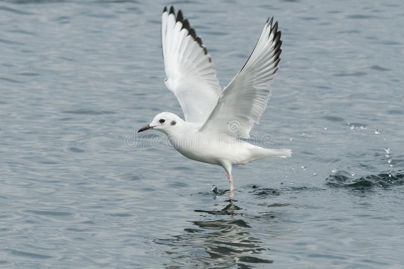 Bonaparte's Gull. Skimming the surface of the water royalty free stock images