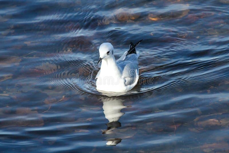 Download Bonapartes Gull stock photo. Image of seagull, bonapartes - 36648382