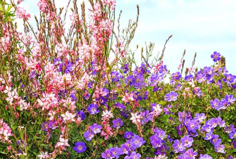 Bonariensis de Rozanne Geranium y de la verbena foto de archivo
