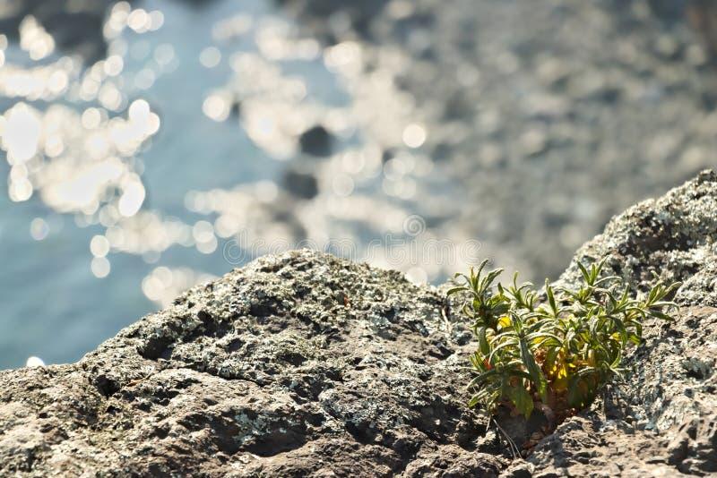 Bonassola n?ra Cinque Terre En cistusladaniferusväxt på vaggar royaltyfri fotografi