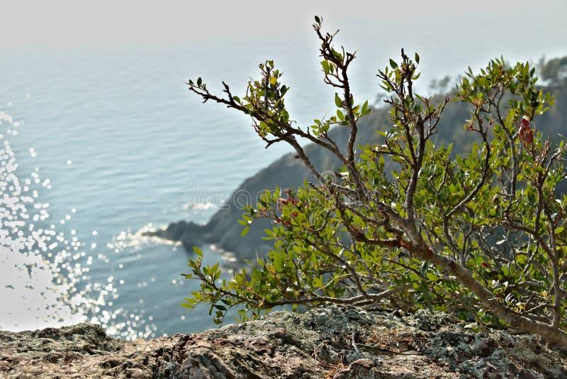 Bonassola n?ra Cinque Terre En lentiskväxt på vaggar royaltyfri fotografi