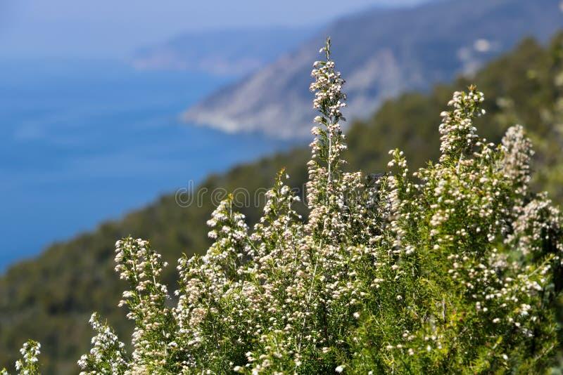 Bonassola n?ra Cinque Terre, Liguria Bush av Erica Arborea med bakgrunden av havet av de fem länderna royaltyfri foto