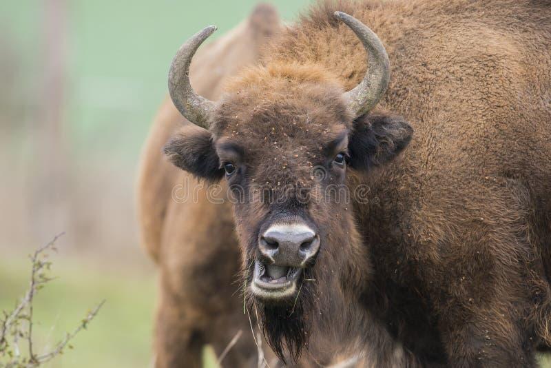 Bonasus de bison - bison européen photos stock