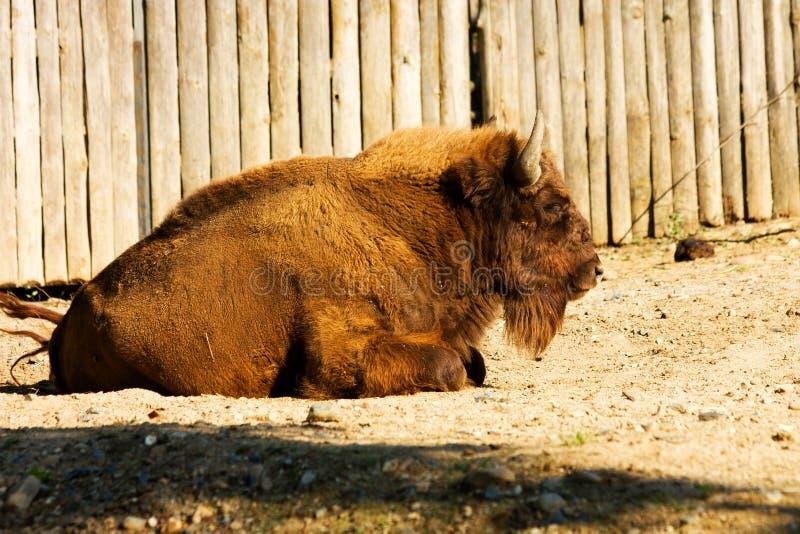 Bonasus del bisonte foto de archivo