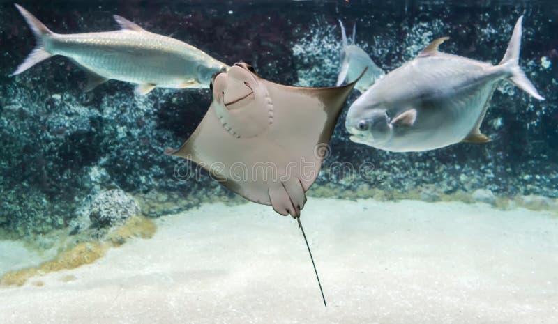 Bonasus die van Rhinoptera van de Cownosestraal onder vissen zwemmen De Cownosestralen hebben weerhaak bij de staart en het zwakk stock foto's