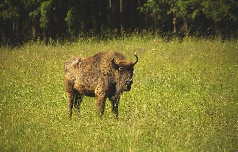 Bonasus do bisonte imagens de stock royalty free