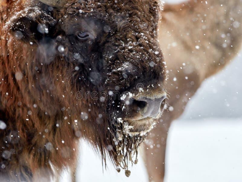 Bonasus europeo del bisonte del bisonte in habitat naturale fotografie stock