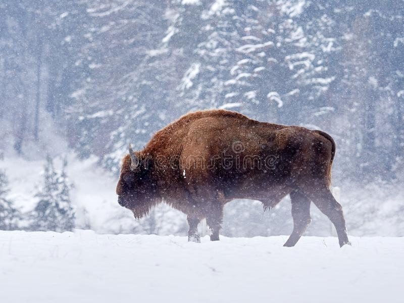 Bonasus europeo del bisonte del bisonte in habitat naturale fotografie stock libere da diritti