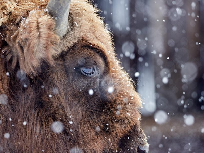 Bonasus europeo del bisonte del bisonte in habitat naturale nell'inverno immagini stock