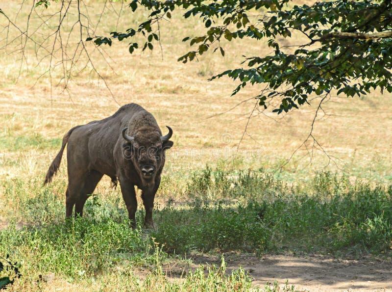 Bonasus europeo del bisonte del bisonte, bisonte europeo o el Zimbru de madera europeo, viviendo en el bosque verde, ascendente c fotos de archivo libres de regalías