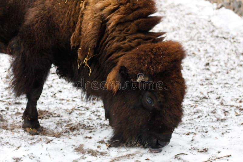 Bonasus europeo del bisonte del bisonte in zoo fotografia stock