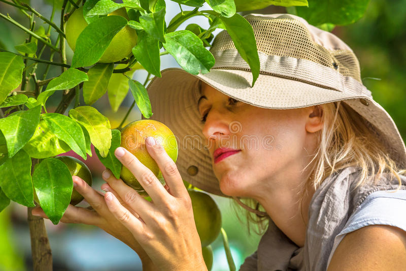 Bonde Checking Grapefruit royaltyfria foton