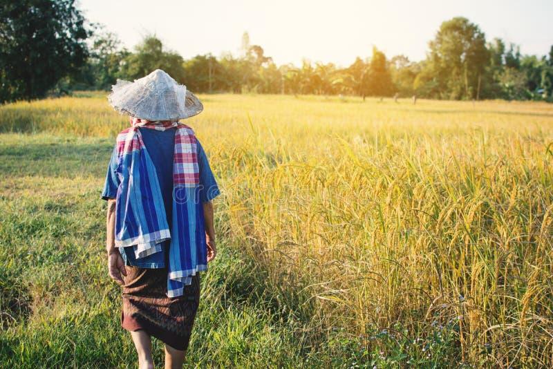 Bonde för gammal kvinna som går på risfältet på skördsäsong arkivbild