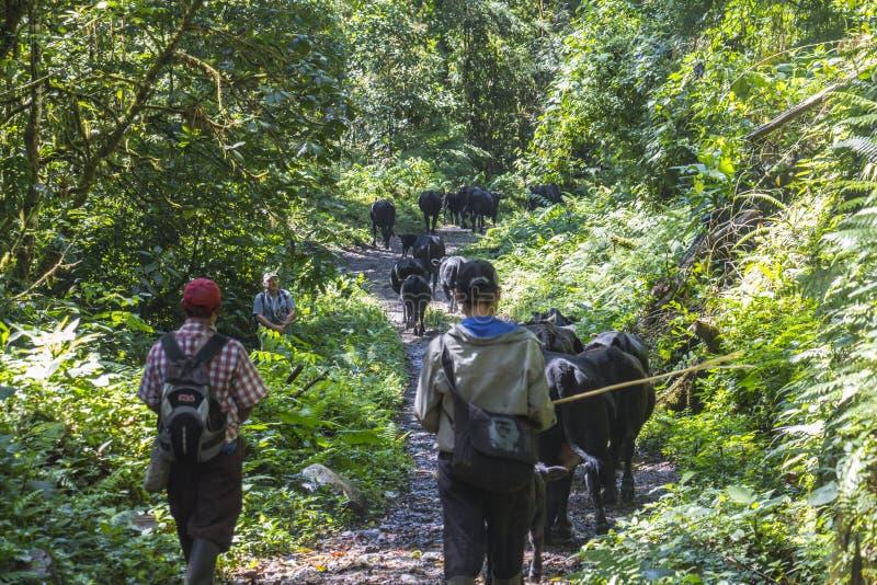 Bonde i djungel av Panama royaltyfria bilder